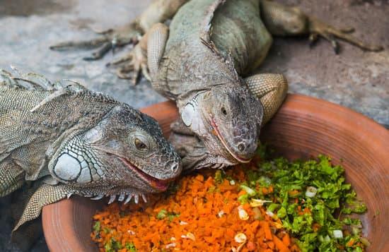 Iguanas reading