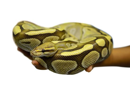 How Big Is A Year Old Ball Python?