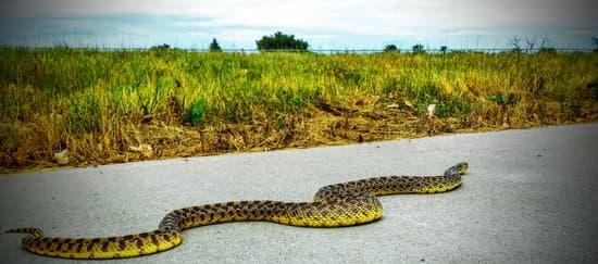 Baby Bull Snake