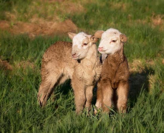 A pair of Katahdin small breeds of Sheep