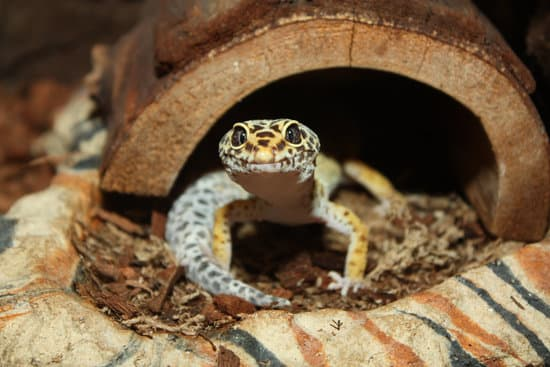 Loose Substrate can cause leopard gecko impaction