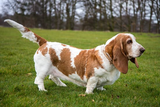 Basset Hound breed of small fat dog