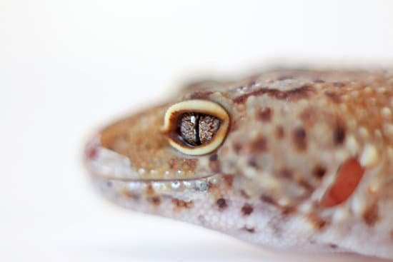 a bright clear eyes of a healthy leopard gecko