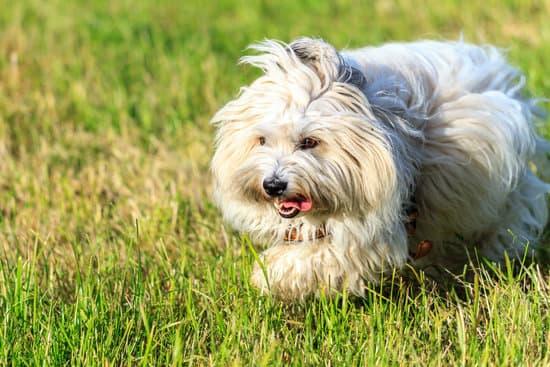 Coton De Tulear breed of small dog