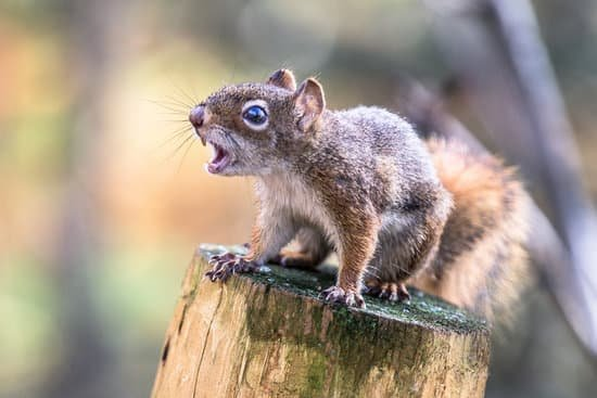 do squirrels carry rabies? yes and no.