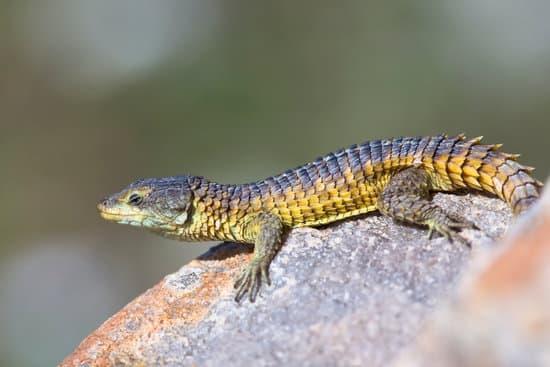 Jones Armadillo Lizards love basking