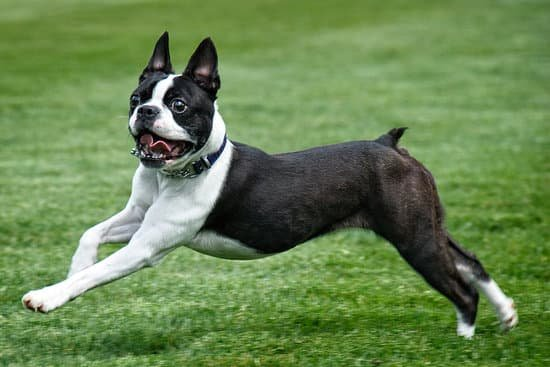 Boston Terrier breed of small dog