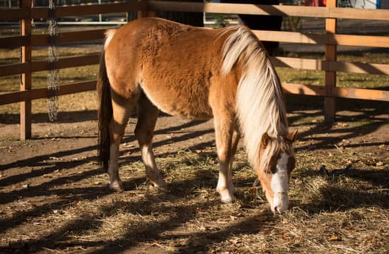 Welsh Pony small horse breeds for riding