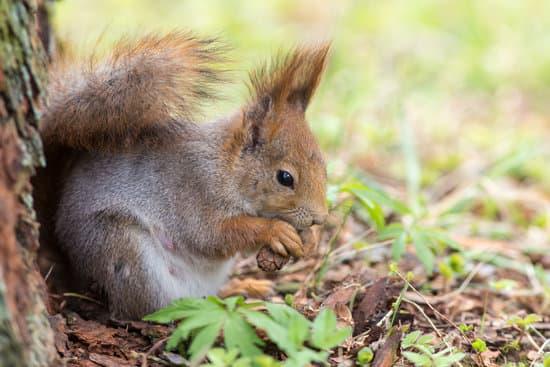 Do Baby Squirrels Eat Pine Cones?