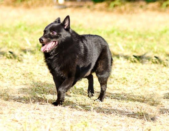 Schipperke cheapest small dog breed