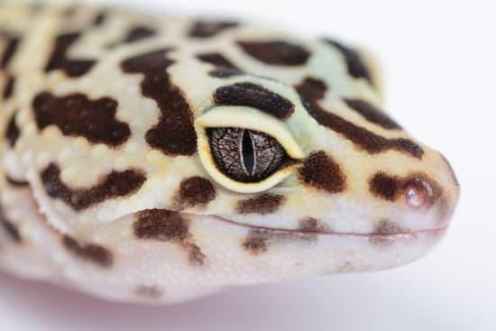 Leopard Gecko Eyes Appearance