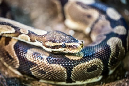 Why Do You Need To Know The Lifespan Of A Female Ball Python?