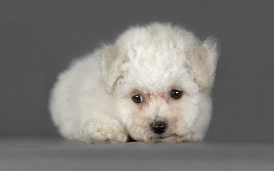 The Bichon Frise breed of small hypoallergenic dog