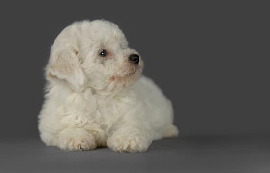 Bichon Frise small puppy breed