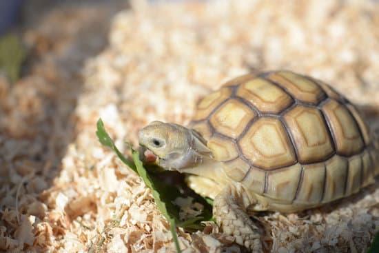 Do Sulcata Tortoise Need Protein