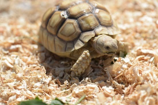 do sulcata tortoises need a heat lamp? Yes they do