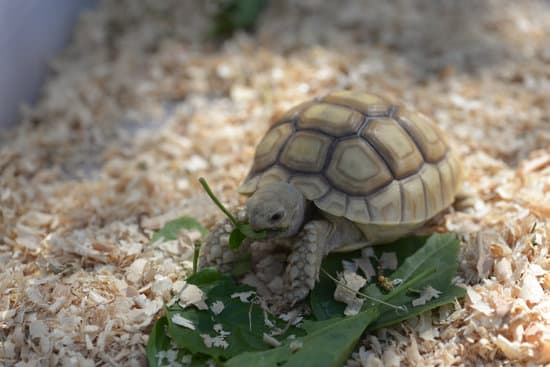 What Does Baby Sulcata Eat In The Wild?