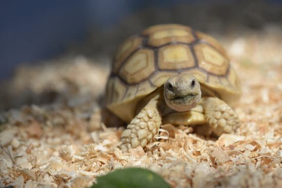 at what age do sulcata tortoises stop growing