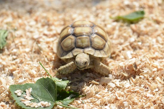 What Proteins Can Sulcata Tortoise Eat?