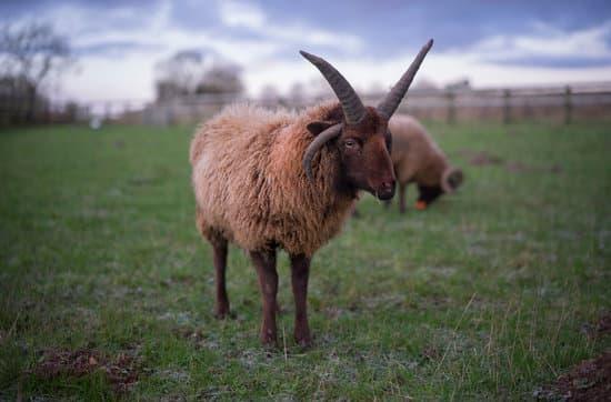 Shetland small breed of Sheep