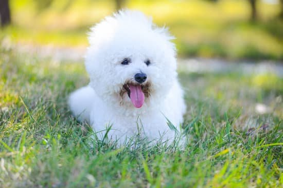 Bichon Frise breed of cheapest dog