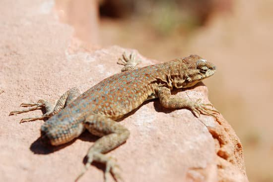 A lizard without tail