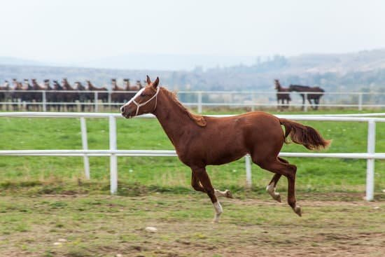 Arabian small Horse breed for riding