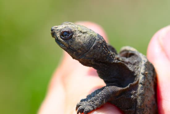 A hatchling snapping turtle with long neck
