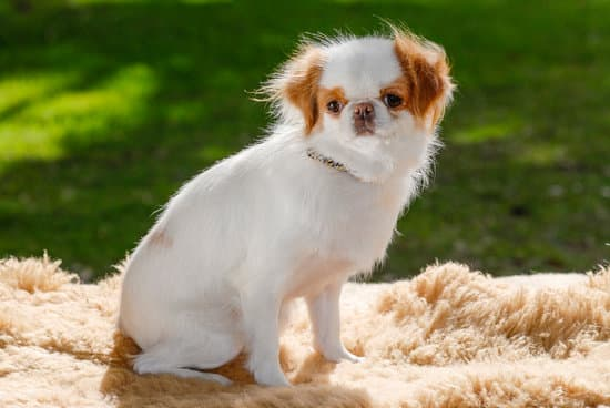 Japanese Chin breed of small friendly dog