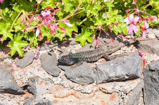 Canarian lizard basking on a rock