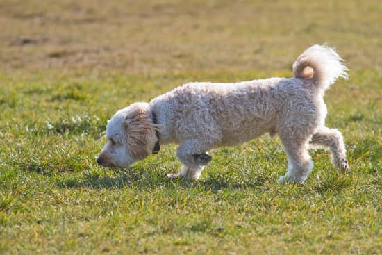 Cavapoo small poodle breed