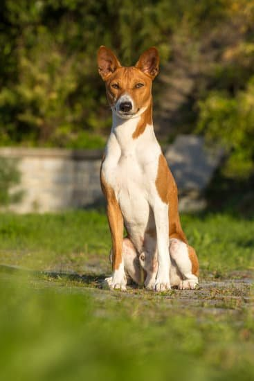 Basenji breed of small hound