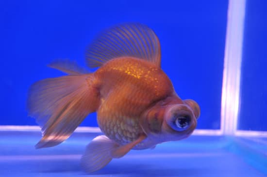 How To Tell If Your Goldfish Is Sick?