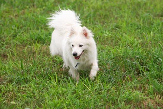 Japanese Spitz small hairy dog breed