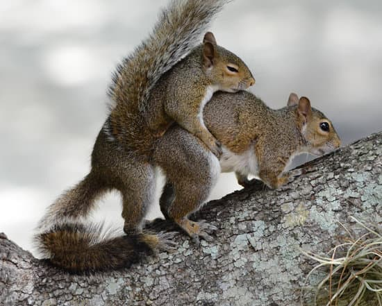 Squirrels mating