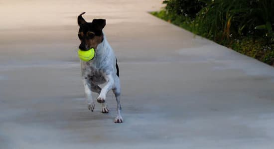 Rat Terrier playing outdoors