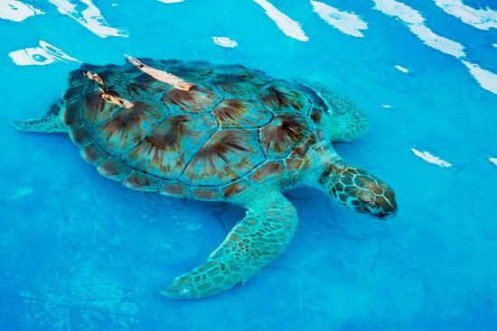 Hawksbill Sea Turtle Eretmochelys Imbricata Is Critically Endang