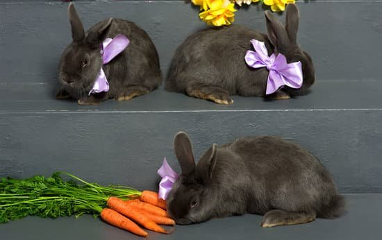 A group of Hungarian Giant rabbit breed