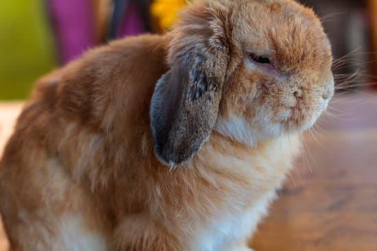 Holland Lop small rabbit breeds