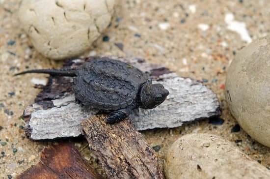 snapping turtles kids facts