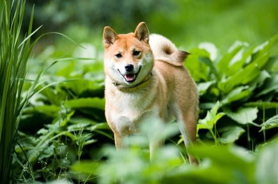 Shiba Inu has curly tail
