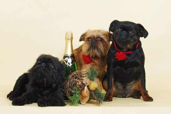 A group of Griffon Bruxellois small hypoallergenic dog breeds