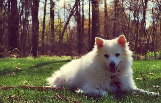 American Eskimo Dog breed of small guard dog