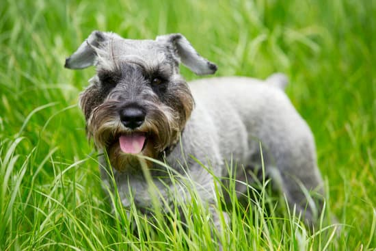 Miniature Schnauzer breed of small hypoallergenic dog