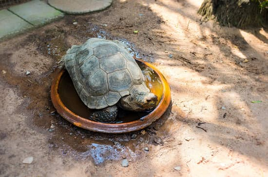 A young sulcata tortoise soaking in water