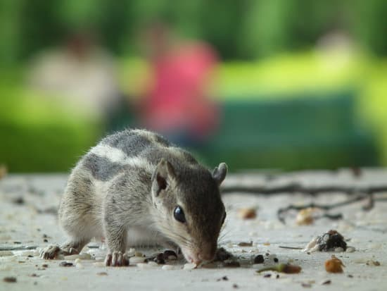 A new weaned young squirrel food hunting in the park