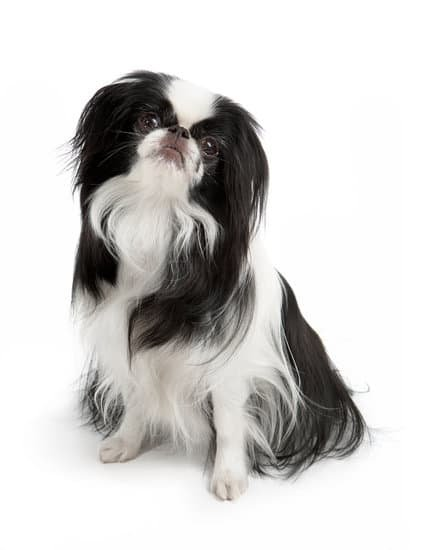 Japanese Chin black and white small dog breed