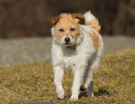 Wire Fox Terrier game hunting small dog breed