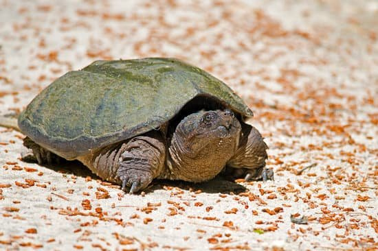snapping turtle full grown
