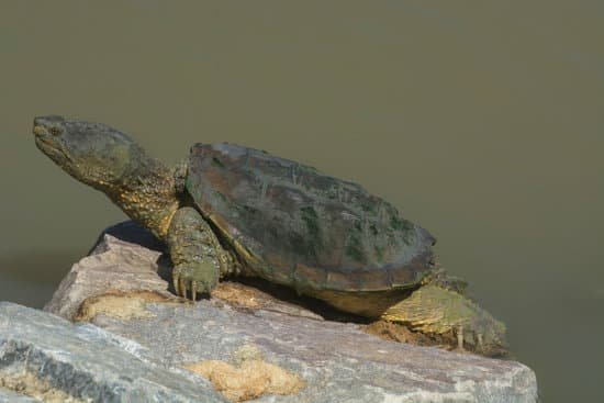 snapping turtles can climb walls with elevated rocks in their pond.